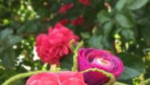 Rosenduft auf der Filzterrasse